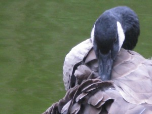 Goose Grooming While Zaptet Woodwind Quintet Performing at Portal of the Past, Golden Gate Park, San Francisco